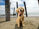 Golden Retriever plage