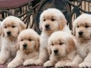 golden retriever chiots mignons