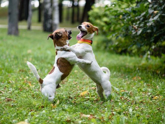 chien jack russell socialisation