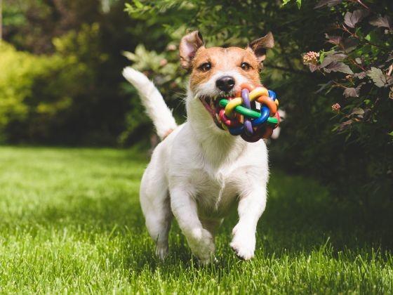 chien jack russell jouet