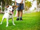 chien jack russell énergique