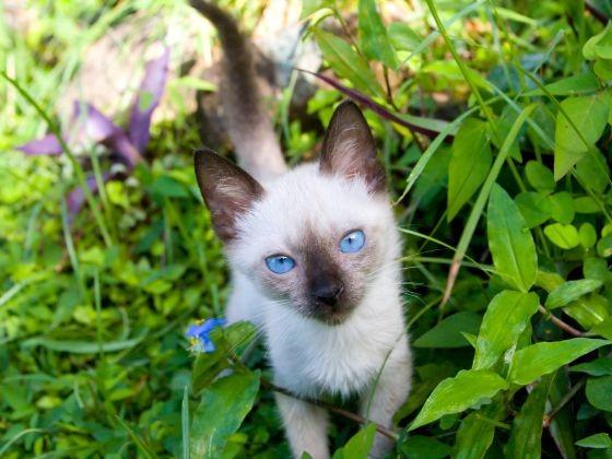 chaton siamois jardin