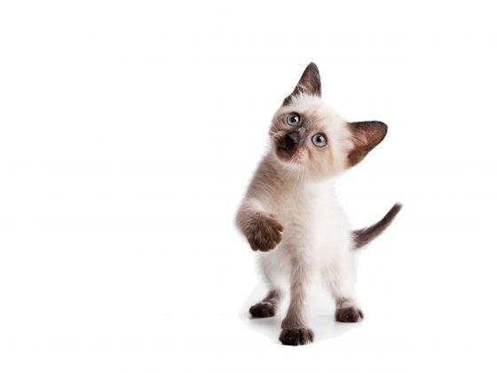 chaton siamois