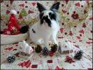 photo lapin noir blanc poils longs
