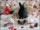 photo lapin noir poils longs