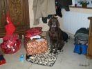photo chien braque allemand noel