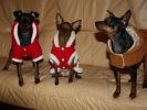 photo chiens pinschers nains noel
