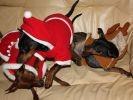 photo chiens 3 pinschers nains