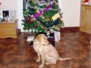 photo chien sapin cadeaux