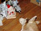 photo chien husky pere noel