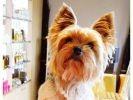 photo chien yorkshire