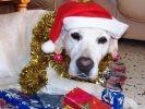 photo chien labrador noel