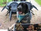 chien setter gordon bandana jardin