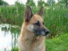 chien berger allemand jardin