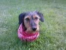 chien bandana teckel