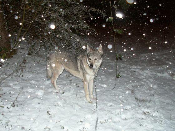 chien loup neige