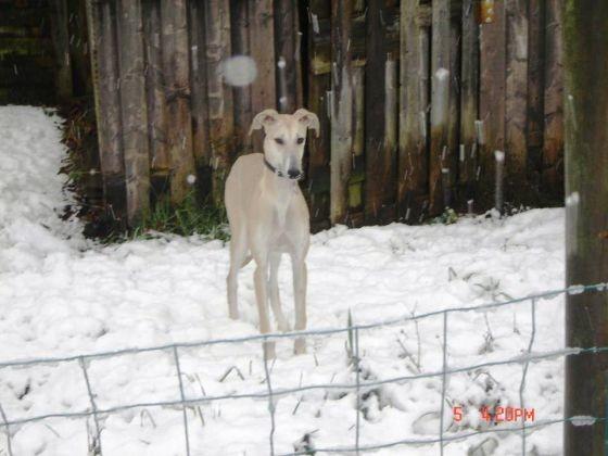 chien levrier espagnol neige