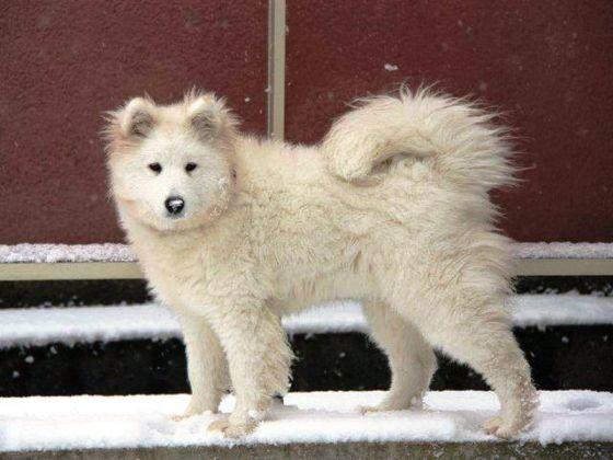 chien samoyède neige