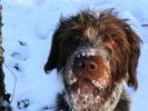 chien braque allemand neige