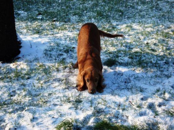 chien neige epagneul cocker