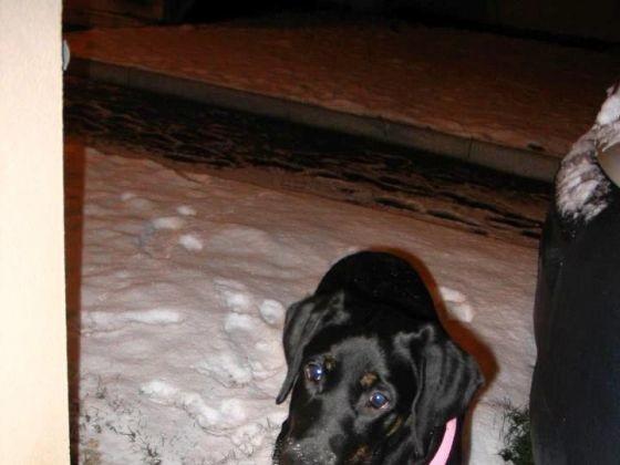 chien type labrador neige