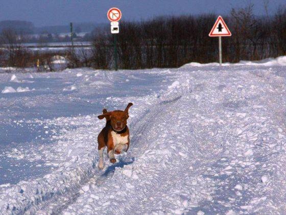 chien beagle neige route