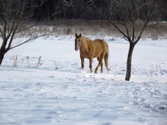 cheval champ neige