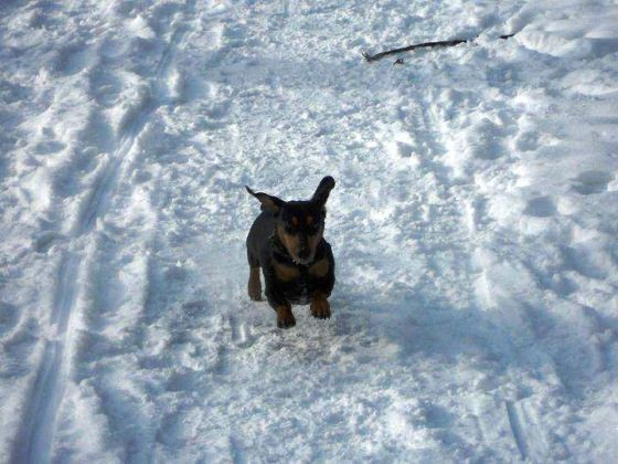 chien neige teckel court