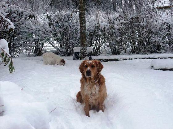 chien golden neige jardin