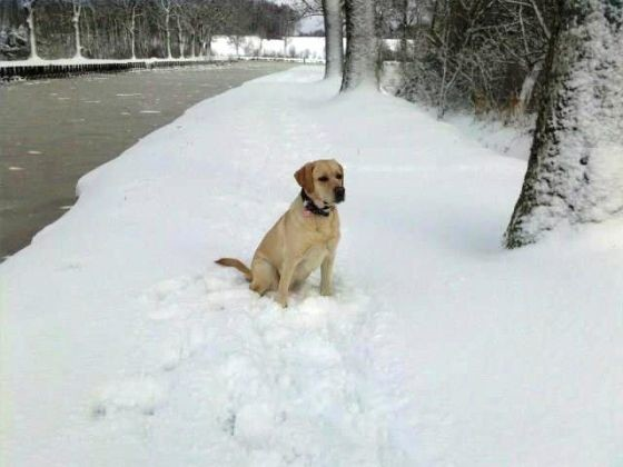 chien labrador neige route