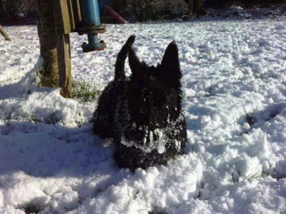 chien scottish jardin neige
