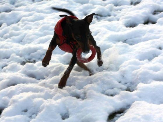 chien pinscher neige jouet