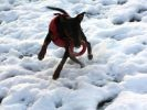 chien pinscher neige jouet