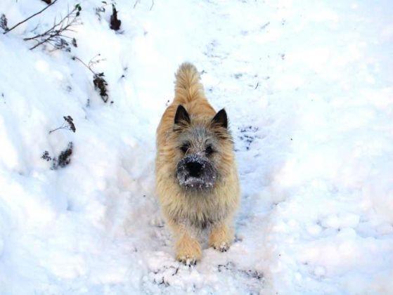 chien cairn terrier neige