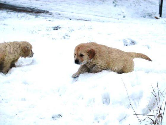 chiot golden joue neige