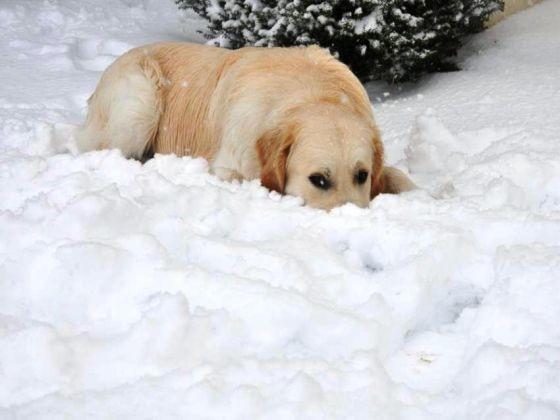 chien golden sable neige jardin