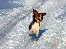 chien beagle court neige