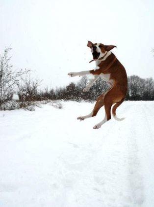chien saute champ neige