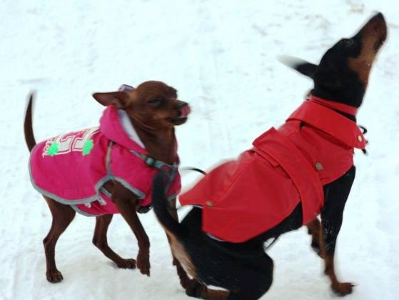 chiens pinschers nains manteaux neige