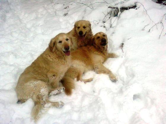 3 chiens golden retiever neige