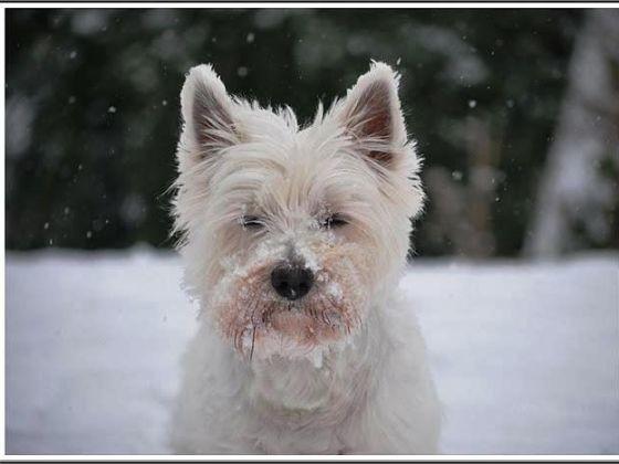 chien westie neige museau