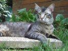 l'Oriental treizième chat préféré des français