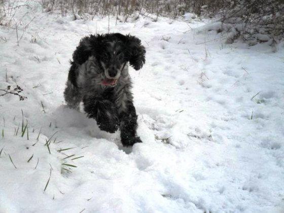 chien cocker court neige