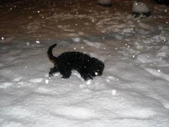 chien cavalier king charles neige