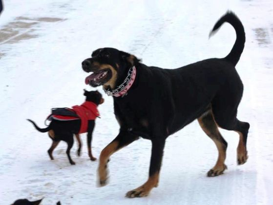 chien pinscher beauceron neige