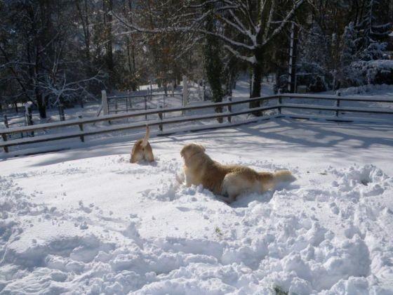 Chien golden labrador neige