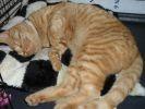 chat roux sauvetage cupid