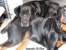 couple chiens molosses
