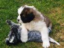 chiens cocker saint bernard chien