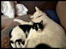 chat noir et blanc chien blanc